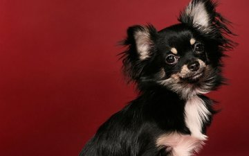 background, muzzle, look, dog, puppy, chihuahua