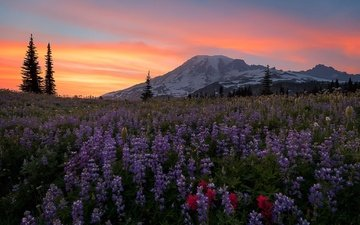 flowers, mountains, nature, sunset, landscape, washington, national park mount rainier, alpine meadow