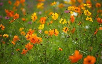 цветы, природа, растения, поле, лепестки, стебли, полевые цветы, космея