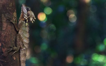 природа, ящерица, рептилия, боке