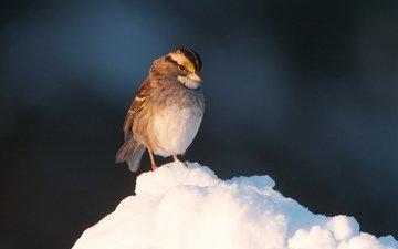 snow, bird, beak, sparrow, feathers