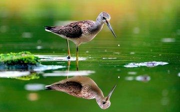вода, отражение, птица, клюв, перья, розмытость, бекас