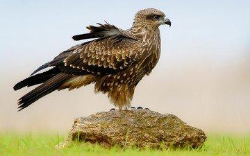 трава, крылья, камень, птица, клюв, перья, сокол