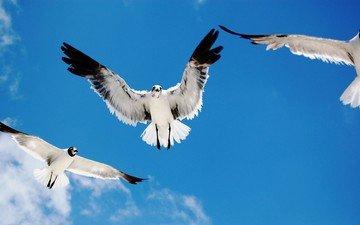 небо, полет, крылья, птицы, чайки
