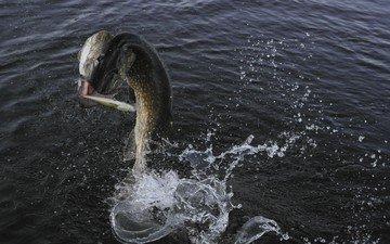 вода, брызги, рыбка, рыба, улов, щука