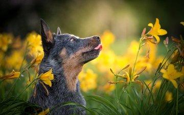 морда, цветы, природа, собака, профиль, животное, язык, австралийская пастушья, лилейник, nicole trenker