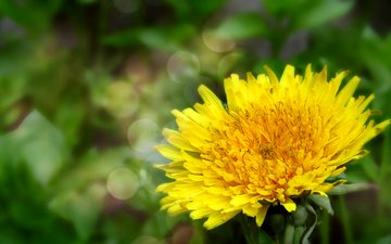flowers, nature, spring, dandelion
