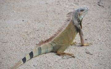 nature, sand, lizard, reptile, iguana