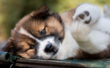 мордочка, взгляд, собака, щенок, акита-ину