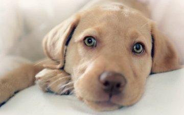 мордочка, взгляд, собака, щенок, друг, лабрадор, ретривер