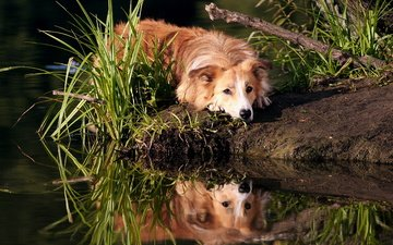 трава, вода, отражение, мордочка, взгляд, собака, золотистый ретривер