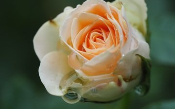 flower, drops, rose, petals, closeup
