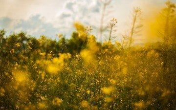 цветы, природа, пейзаж, поле, луг, рапс, желтые цветы