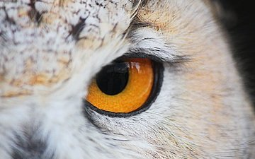 owl, look, bird, closeup, yellow eyes