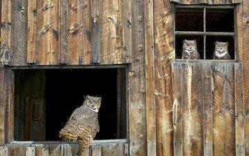 птицы, хищник, окно, сарай, совы