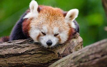 природа, дерево, мордочка, панда, сон, животное, красная панда, зоопарк