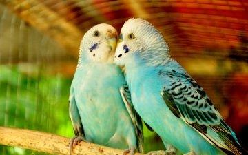 птицы, любовь, пара, попугаи, волнистый попугай