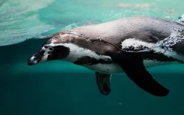 вода, океан, птица, клюв, пингвин