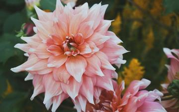 flowers, petals, closeup, dahlias