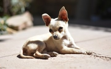 muzzle, look, dog, puppy, chihuahua