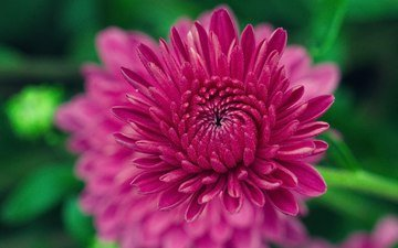 цветение, цветок, лепестки, размытость, хризантема