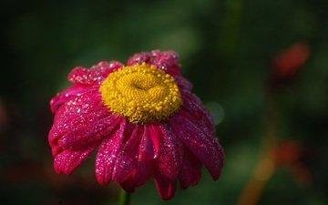 flower, drops, petals, daisy, pink