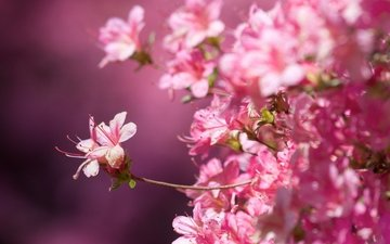 flowering, macro, background, spring, sakura, pink flowers, close-up