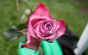 цветок, вид сверху, роза, лепестки, бутон