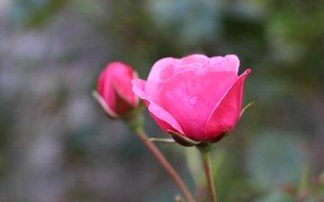 flower, roses, bud, blur, water drops