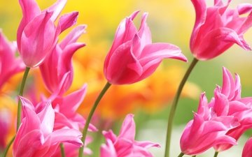 flowers, buds, petals, spring, tulips, pink
