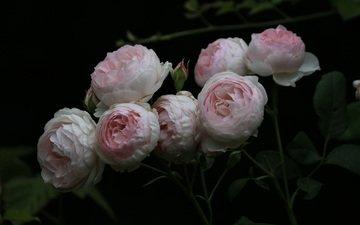 flowers, buds, roses, petals, black background