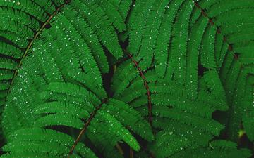 leaves, drops, plant, water drops, mimosa