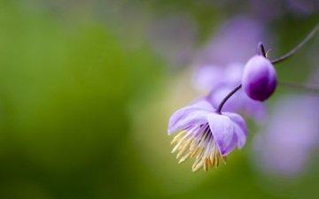 flowers, flowering, stamens, pollen, purple, bokeh