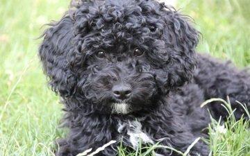 трава, мордочка, взгляд, пушистый, черный, собака, щенок, пудель