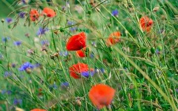 flowers, petals, maki, meadow, stems, cornflowers