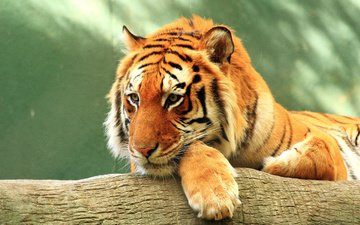tiger, face, look, predator, wildlife, wild cat