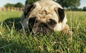 grass, muzzle, look, dog, pug