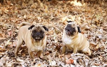 листва, взгляд, осень, собаки, мордочки, мопс, мопсы