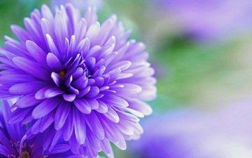 flowering, flower, petals, astra, closeup