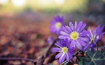 flowers, leaves, petals, purple, closeup, anemone, pechenocna