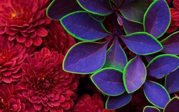 flowers, leaves, petals, chrysanthemum, barberry