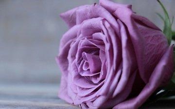 цветок, роза, лепестки, бутон, крупным планом