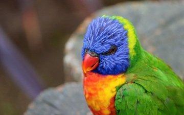 птица, клюв, перья, попугай, радужный лорикет