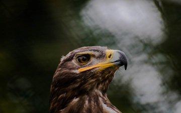 орел, хищник, птица, клюв