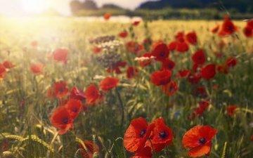 цветы, лепестки, красные, маки, пшеница, солнечный свет
