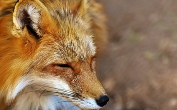 face, sleep, fox, predator, closed eyes