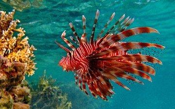 кораллы, рыба, подводный мир, крылатка, рыба лев
