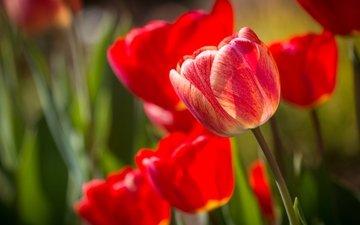цветы, бутоны, лепестки, красные, тюльпаны, крупный план
