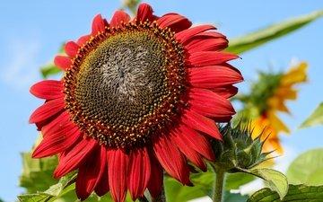 цветок, лепестки, красный, подсолнух