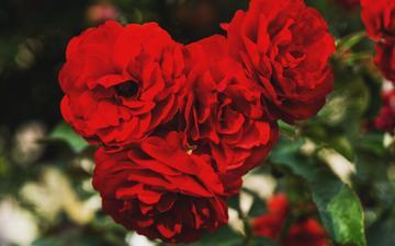 цветы, бутоны, розы, лепестки, красные